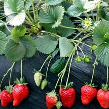 宁玉草莓苗价格、宁玉草莓苗基地图片