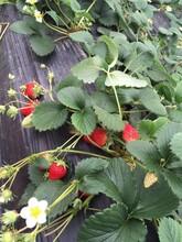 京藏香草莓苗价格、京藏香草莓苗基地图片
