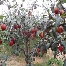梨树苗价格、品种梨树苗、梨树苗批发图片