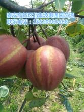 广西黄冠梨苗价格、广西黄冠梨苗多少钱图片