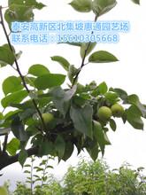 广西丰水梨苗价格、广西丰水梨苗多少钱图片