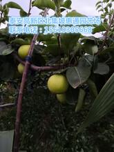 广西柱状梨苗价格、广西柱状梨苗多少钱图片