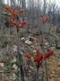 湖南食用香椿苗价格图片