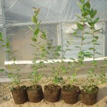 绿宝石蓝莓苗一亩地栽多少棵图片