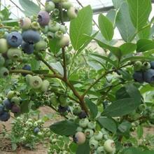 四川三年蓝莓苗价格图片