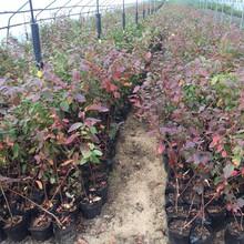 辽宁地栽蓝莓苗价格图片
