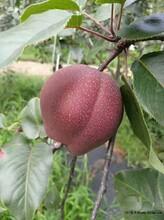 广西早酥红梨树苗价格、广西早酥红梨树苗多少钱图片