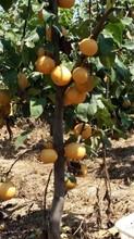 广西红香酥梨苗价格、广西红香酥梨苗多少钱图片