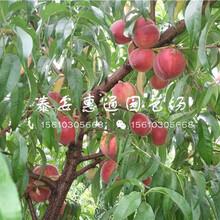 福建黄桃树苗价格图片