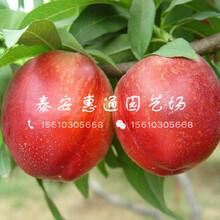 海南83黄桃树苗什么价格图片