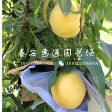 云南93桃树苗价格图片