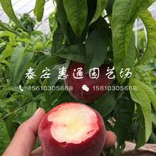 广西福秀桃树苗价格及报价图片