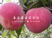 北京福太黄桃树苗价格及报价