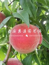 安徽映霜红桃树苗价格图片