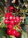 黑珍珠樱桃苗包邮价格、黑珍珠樱桃苗供应
