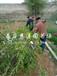 2公分雷尼樱桃苗、雷尼樱桃苗一亩地产量