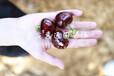山东五公分樱桃树苗市场价格