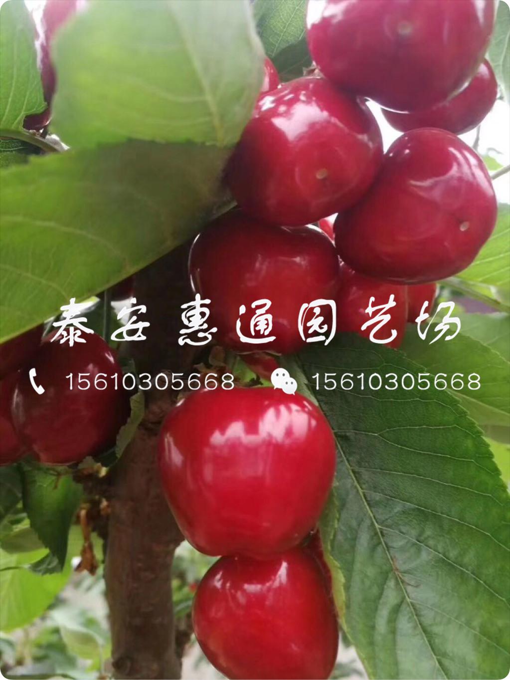 2公分樱桃树苗出售价钱、2公分樱桃树苗种植技术
