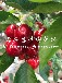 黑珍珠樱桃苗每日报价、黑珍珠樱桃苗出售基地