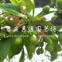 耐旱的极佳樱桃苗价格图片