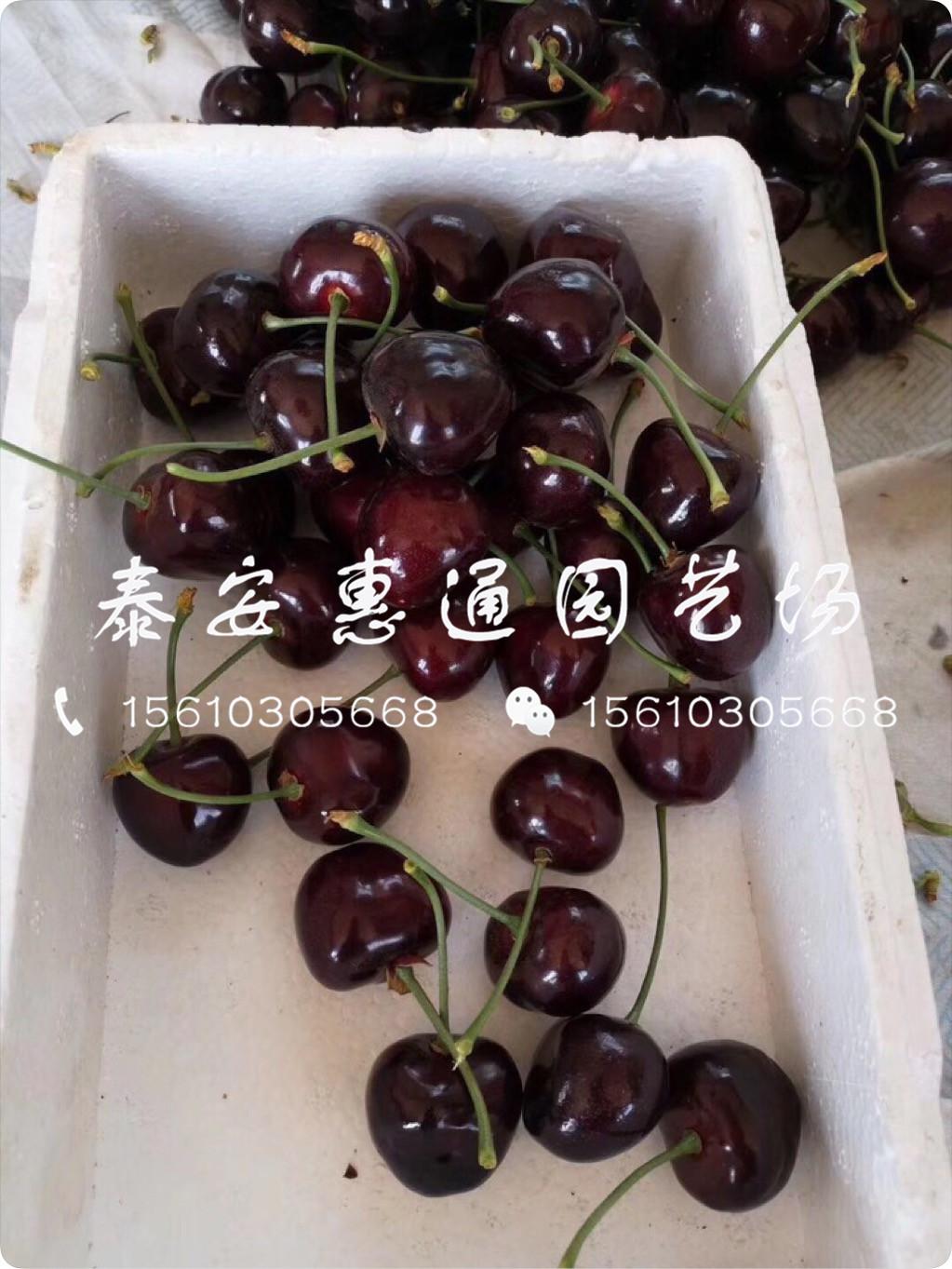 抗寒的4公分樱桃树苗、4公分樱桃树苗是多少钱一棵