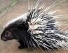 澳门豪猪种猪多少钱一组豪猪价格