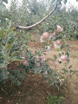 供应山东红富士苹果价格红富士苹果最新价格行情