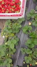 海南省草莓秧苗批发图片
