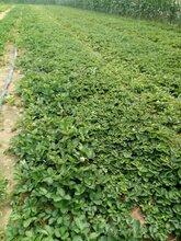 草莓(mei)苗種植技術圖片(pian)