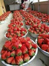 美十三草莓苗如何栽培