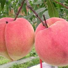 黄金蜜3号桃树苗厂家价格-油蟠桃树苗