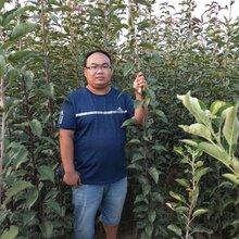 塔城地区全红梨树苗新品种图片