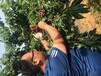 常德市當年結果櫻桃樹苗作用