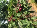 桂林市福晨樱桃树苗新品种图片