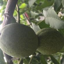 新巨丰核桃树苗新品种图片