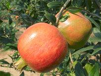 甘肅蘭州三白石榴樹苗基地