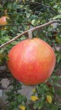 莱芜牡丹花石榴树苗品种好图片