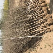 牡丹花石榴樹苗耐儲存圖片