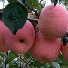 天水早熟苹果苗耐储存图片