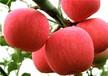 江西新余m26矮化苹果苗作用