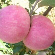 天水早熟苹果苗图片