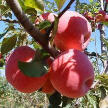 天水早熟苹果苗价格图片