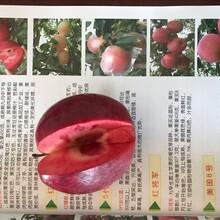 早熟苹果苗种植方法图片