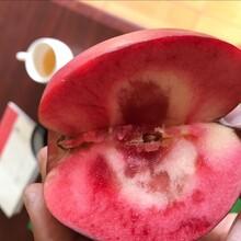 天水早熟苹果苗供应图片