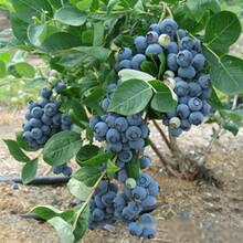 智利都克蓝莓苗产值图片