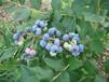 喀什地區營養杯藍莓苗優缺點