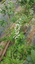 蓝莓苔藓小苗优缺点图片
