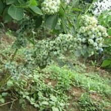 云浮30公分蓝莓苗购苗图片