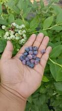 湖州50公分蓝莓苗北方注意事项图片