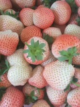 甜查理草莓苗管理技术图片